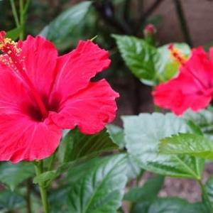 ハイビスカスの花次々咲く