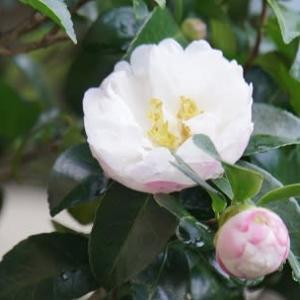 サザンカの花咲く