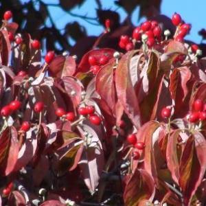 ハナミズキの葉の紅葉