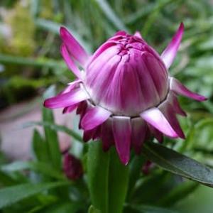 コロロフランボワーズの花