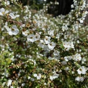 ユキヤナギの花咲く