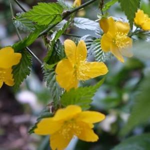 ヤマブキの花咲く