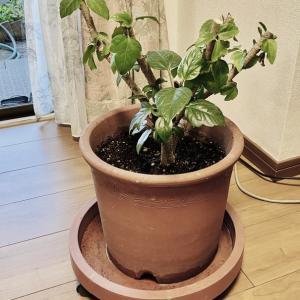 ハイビスカス🌺の鉢植え