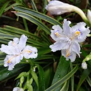 シャガの花咲く