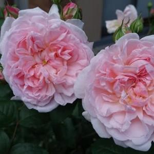 バラの花(プリンセスマサコ)咲く
