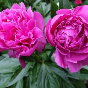 シャクヤクの花咲く