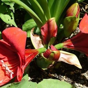 アマリリスの花咲く