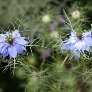 ニゲラの花咲く
