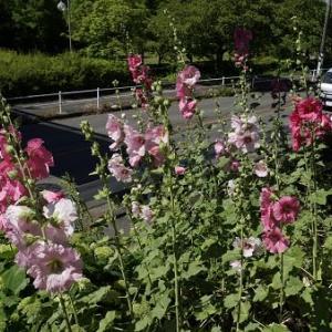 タチアオイの花咲く