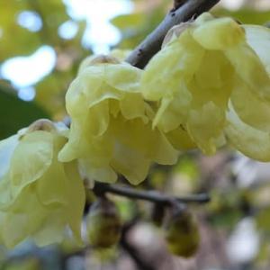 ロウバイの花咲く