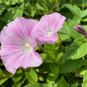 ヒルガオの花咲く