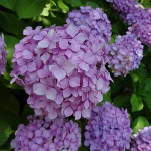紫陽花便り。