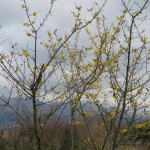 ろうばい、椿、寒椿の花