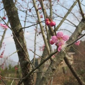 梅~寒の庭