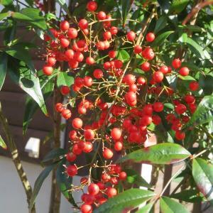 ナンテン、冬椿~我が家の花木