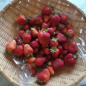 苺が最盛期