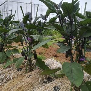 茄子初収穫!