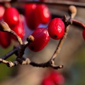 サンシュユ(山茱萸)実と花