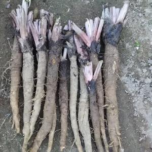ゴボウ掘り