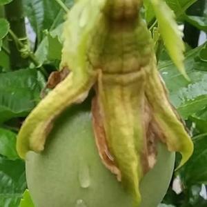 パッションフルーツ実るかな?