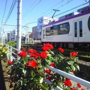 都電と薔薇/2019年秋