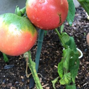 大玉トマトが久々にできた!