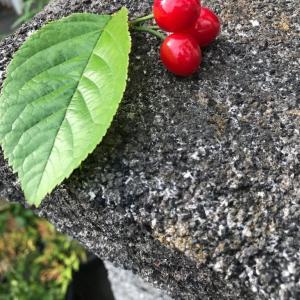 赤い宝石 さくらんぼの収穫の季節
