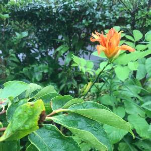 青から朱の花に変化した庭の花