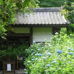 紫陽花の季節到来。今年も鎌倉スパイスは「明月院ブルー」とともに・・・