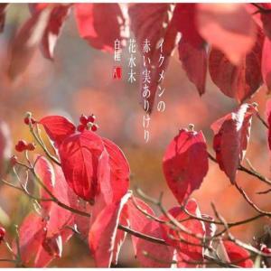 イクメン/花水木の実