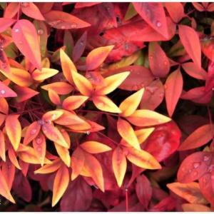 真冬の紅葉/おかめ南天