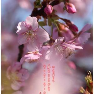 サ・ク・ラ・サ・ク/河津桜