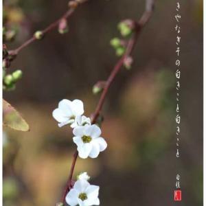 春の使者/ゆきやなぎ