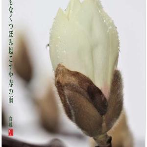 春の雨/白木蓮つぼみ