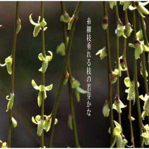 若芽/糸柳