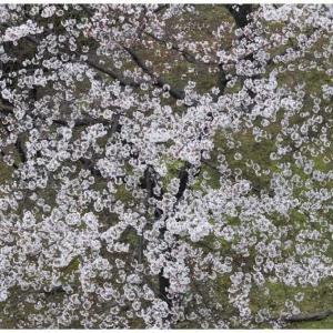 上から目線の満開桜