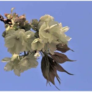 黄桜/鬱金桜