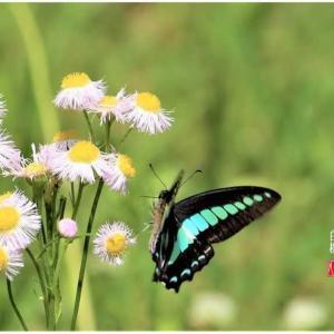 半径50mの日常/浮気な揚羽蝶