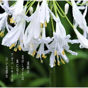 花の雫/白アガパンサス