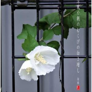 涼風/白木槿