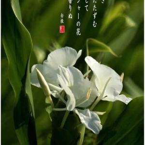 ジンジャー/花縮砂(はなしゅくしゃ)