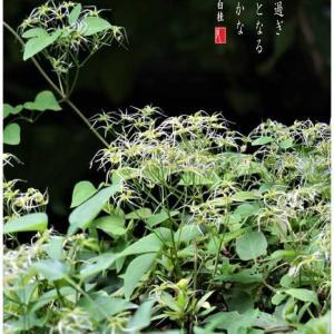 仙人草の実