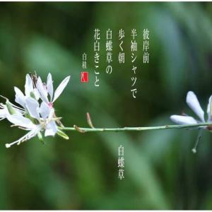 秋の気配/白蝶草