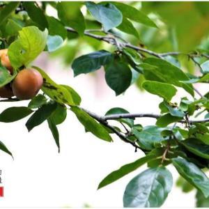 柿の実は少しだけ熟れ