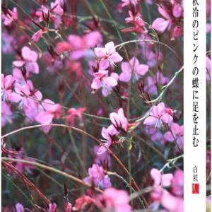 ピンクの蝶/ガウラ