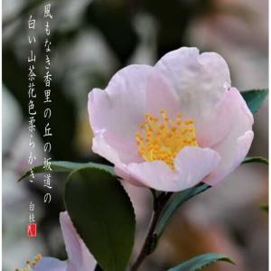 白い山茶花/一粒万倍日・縁起の良い日