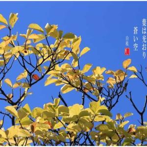 蒼い空と黄木蓮
