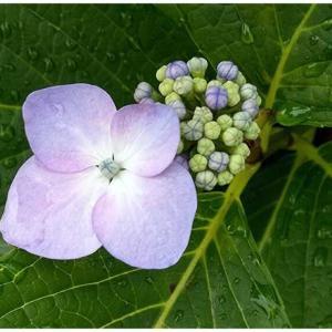 いちりん/がく紫陽花