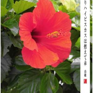 8月31日の花/ハイビスカス