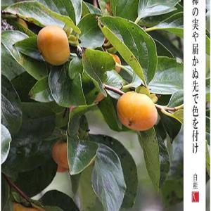 柿の実色づく